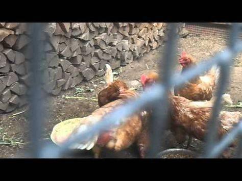 Почему цыплята клюют друг друга: причины, что делать