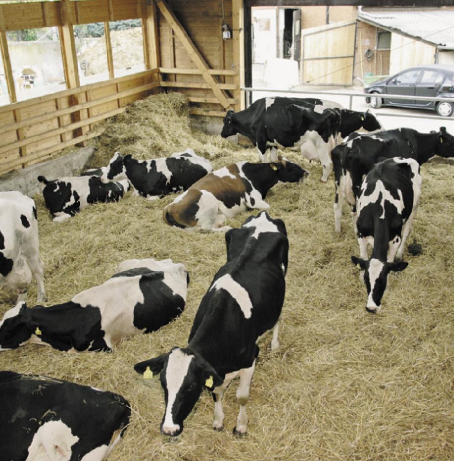 Чем и как кормить корову?