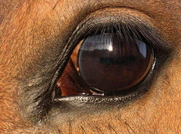 Лечение глаз у лошадей