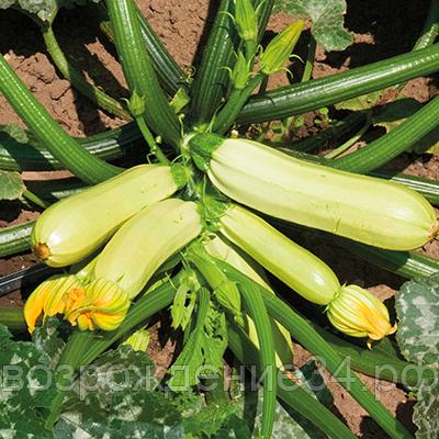 Как выращивать кабачки?