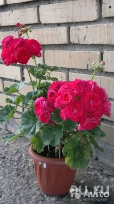 Вива розита пеларгония: фото цветка и другие виды растения, такие как пак каролина, маделина, правила по уходу и выращиванию, особенности размножения