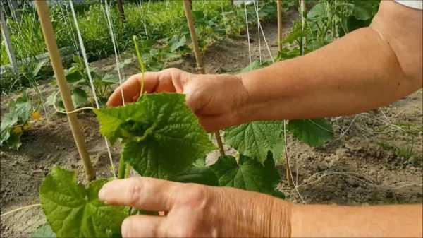 Формирование огурцов в открытом грунте - как правильно прищипывать куст?
