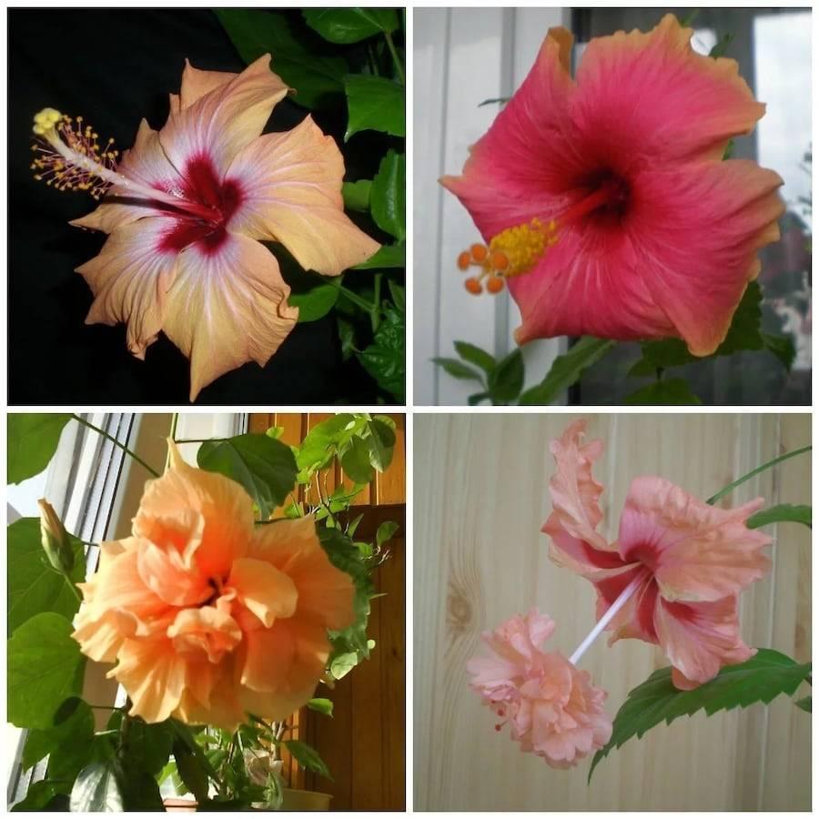 Советы, как правильно поливать комнатную розу в горшке, чтобы цветок рос здоровым и красивым