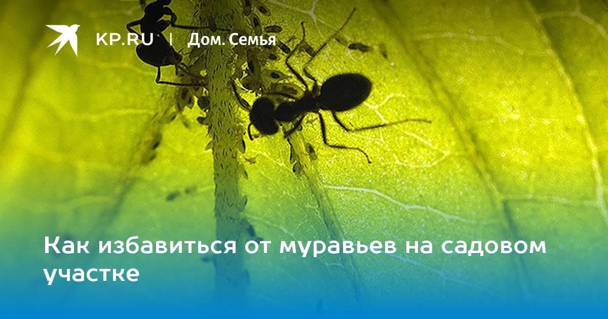 Война с садовыми муравьями: какой метод предпочесть