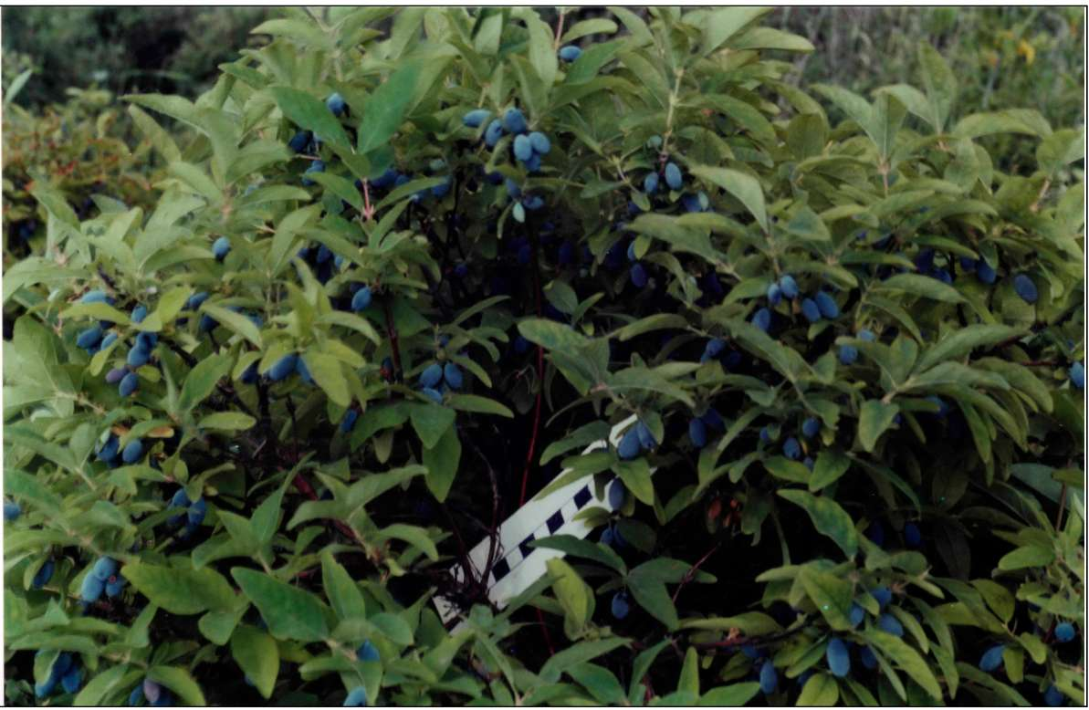 Сорт жимолости синяя птица: описание и уход за культурой