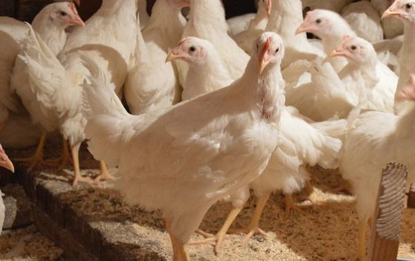 Одомашнивание русскими птицеводами породы кур хайсек для получения большого количества яиц