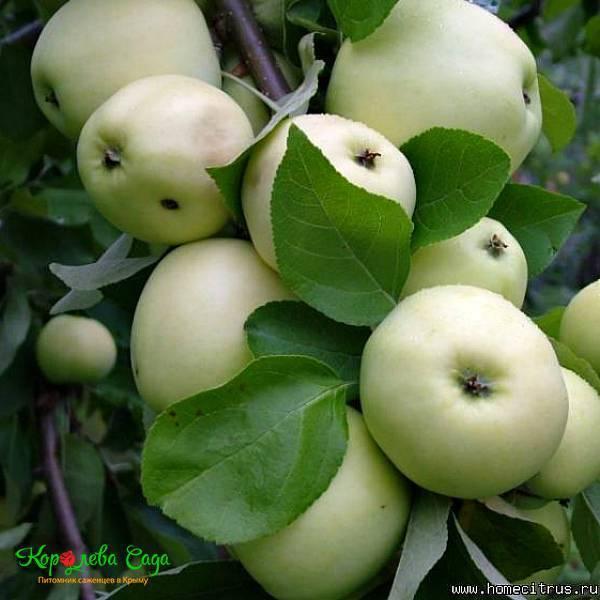 О яблоне Белый налив: описание и характеристики сорта, посадка и уход