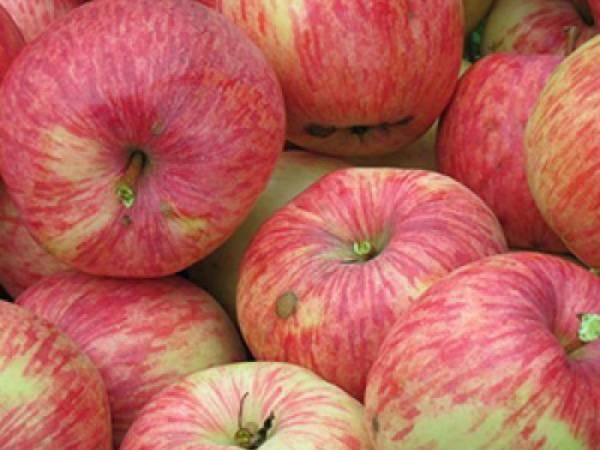 Популярная в россии яблоня китайка — описание и фото сортов, особенности выращивания