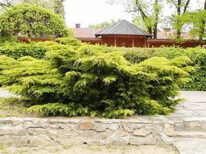 Можжевельник пфицера - juniperus × pfitzeriana - описание таксона - плантариум