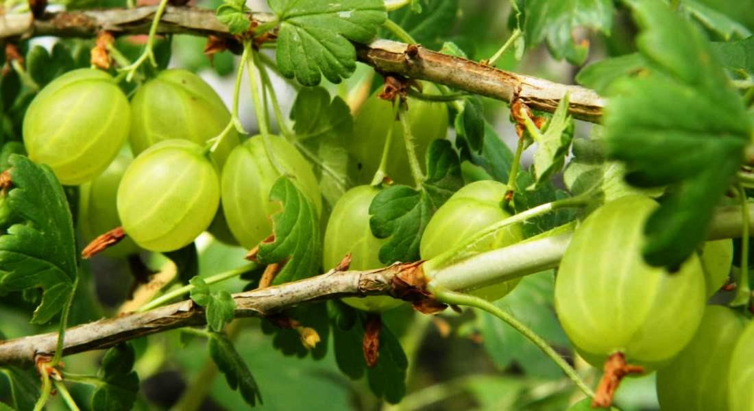 Чем весной подкормить смородину: для высокой урожайности