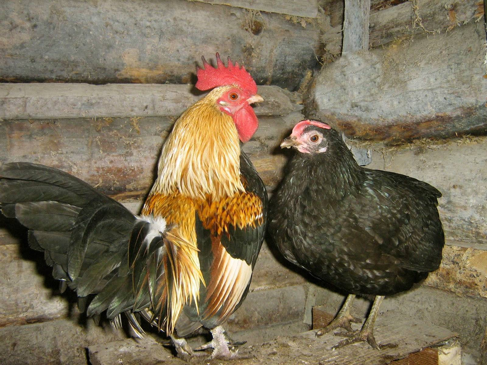 Бентамка: особенности породы кур, виды и выращивание