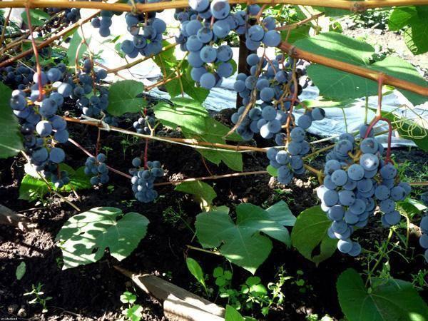 Выращивание и посадка винограда в сибирском регионе