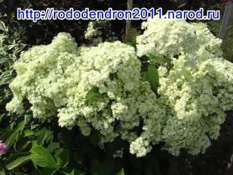Гортензия — виды и сорта для российских садов