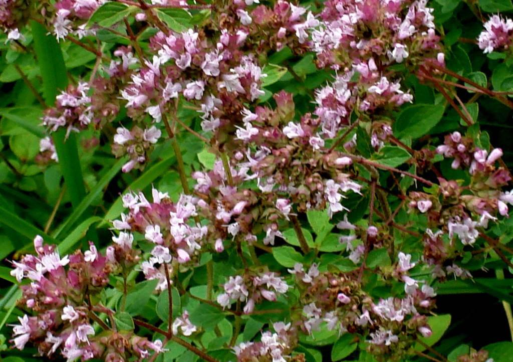 Душица или орегано — неприхотливая лекарственная культура в саду. выращивание, уход и размножение