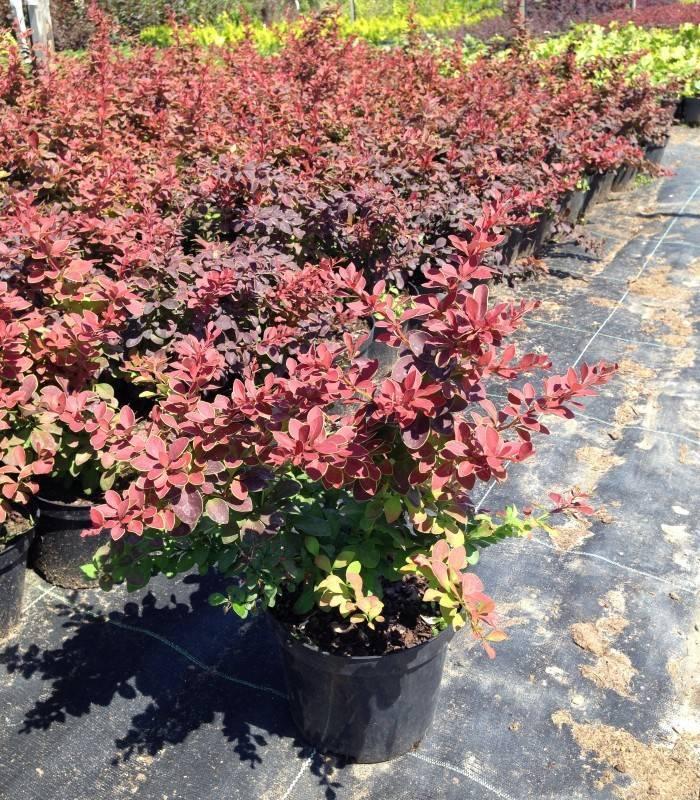 10 сортов барбариса, которые украсят ваш сад