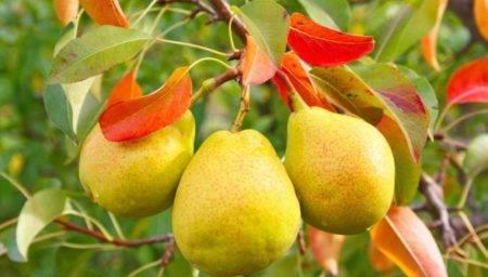 Листья у груши: почему скручиваются, желтеют, покрыты оранжевыми, желтыми пятнами, краснеют, сохнут, мелкие, лечение и профилактика
