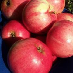 Сорт яблок розовый налив: ботаническое описание и характеристика, агротехника выращивания
