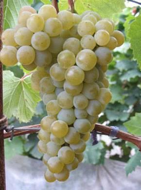 Цитронный магарача — описание сорта винограда и особенности выращивания