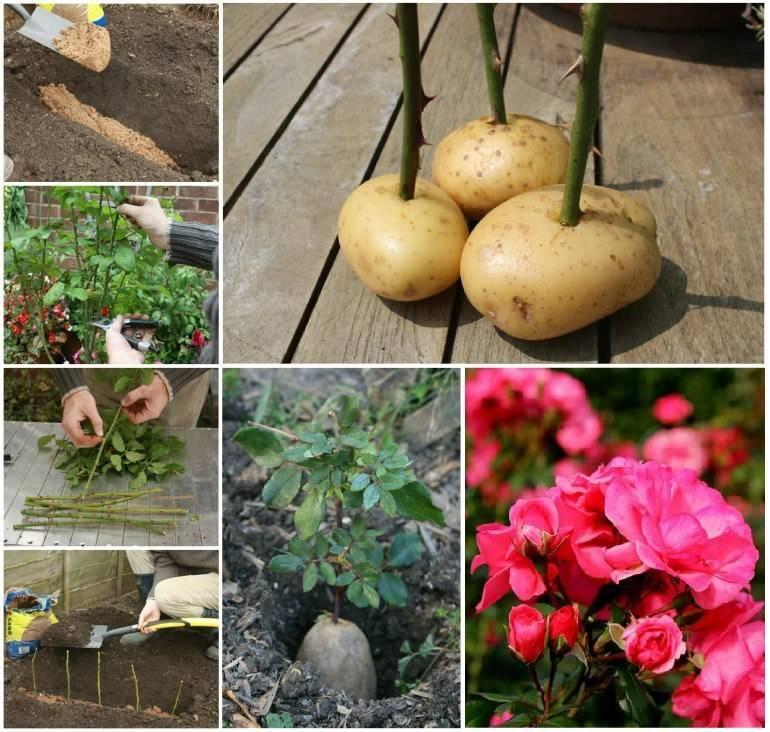 Советы специалистов: как укоренить розу из букета в домашних условиях в картошке