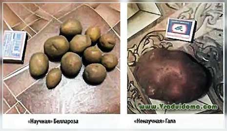 Подготовка картофеля к посадке - основные правила обработки посадочного материала