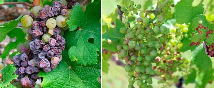 Болезни и вредители винограда: общая характеристика с фото, меры борьбы