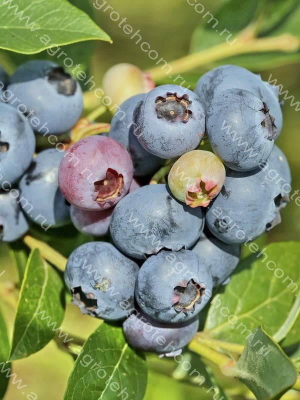 Голубика «элизабет»: описание сорта, выращивание и уход
