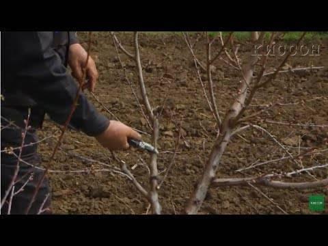 Как обрезать персик осенью: схема