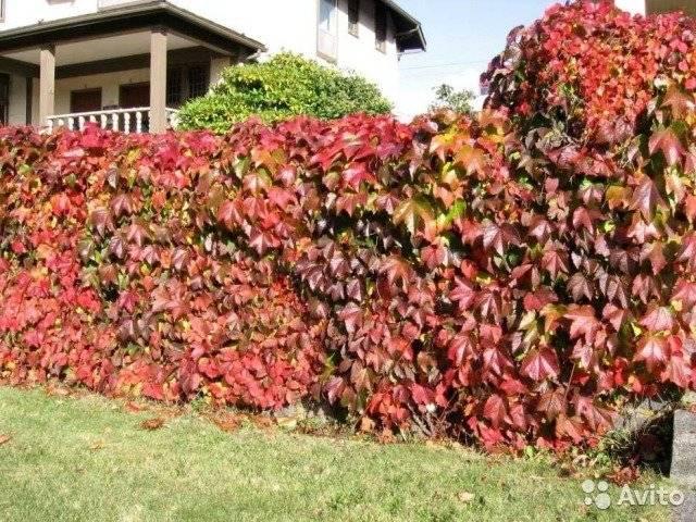«ковровая стена» — вьющийся декоративный виноград «вичи»