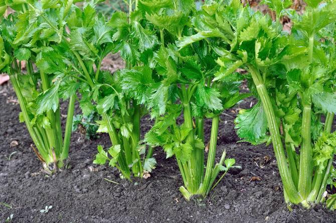Все о посадке сельдерея черешкового: как вырастить из семян на рассаду