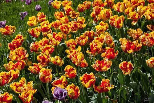 О сортах тюльпанов: описание и характеристики, уход и выращивание