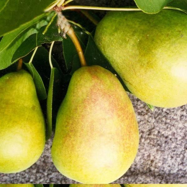 Особенности выращивания и ухода за грушей осенняя сладкая