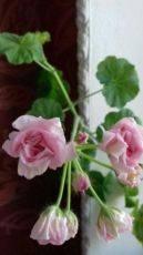 О пеларгонии millfield rose (милфилд роуз): описание и характеристики сорта
