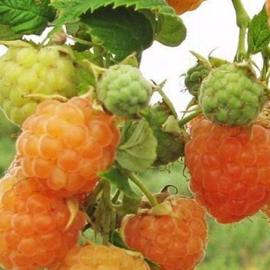 Ремонтантная малина: лучшие районированные сорта