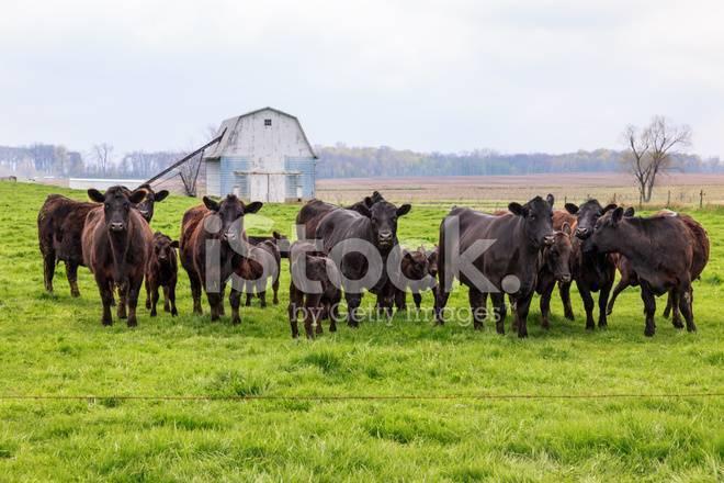 Особенности абердин-ангусской породы коров