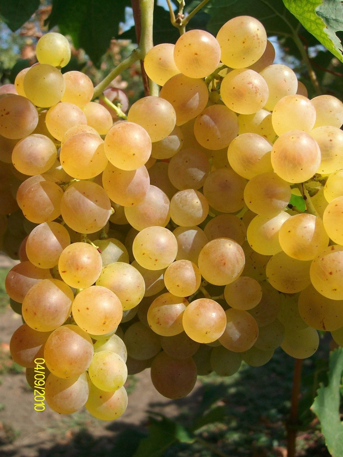 Лучшие морозоустойчивые сорта сладкого винограда