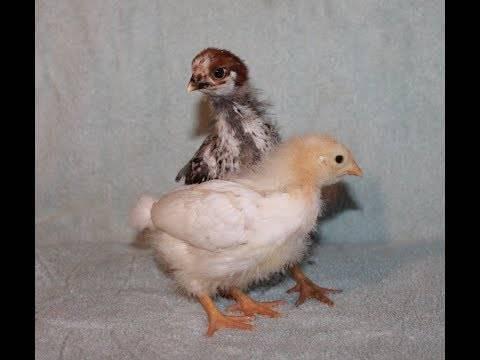 Воспаление зоба у птицы: отчего возникает заболевание, каковы его симптомы, как диагностировать и лечить?