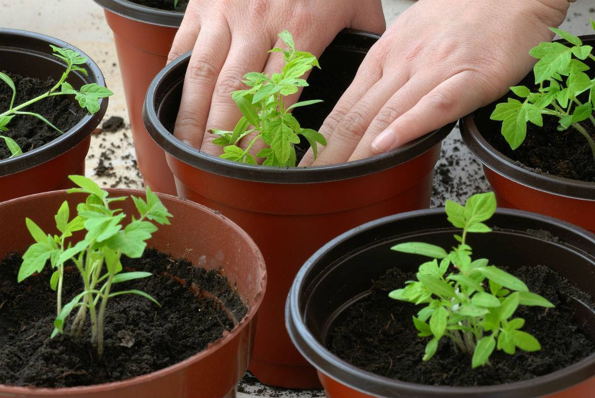 Первая подкормка рассады помидоров: когда лучше всего ее проводить, чем удобрять томаты после всходов, как это делать при уходе за овощами в открытом грунте?