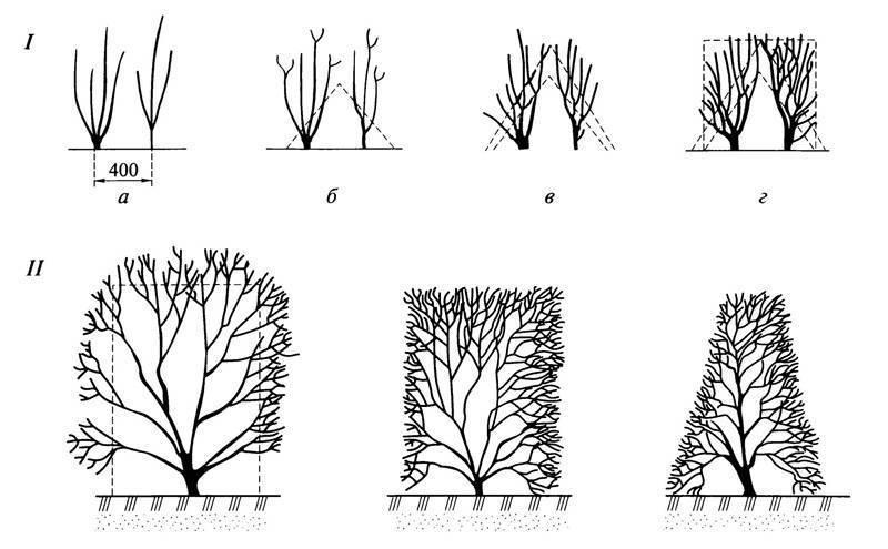 Обрезка плодовых кустов осенью: смородины, малины, крыжовника, ежевики, голубики и жимолости