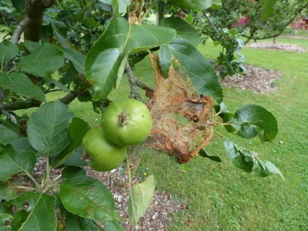 Гусеницы на яблоне - как эффективно бороться с вредителем?
