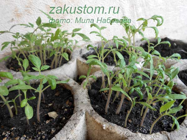 Подкормка рассады перцев и томатов йодом