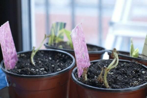Гортензия садовая посадка семенами