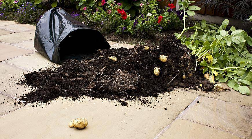 Как вырастить картофель в бочке. пошаговая технология выращивания