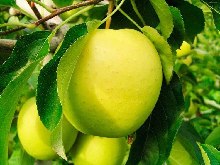 Яблоня брянское розовое: преимущества сорта, посадка и советы по уходу