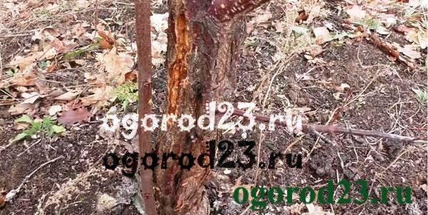 Виды повреждений плодовых деревьев зимой, защита стволов, коры и корней от подмерзания и ожогов