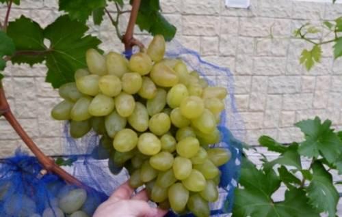 Виноград бажена – белое чудо