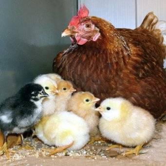 Цыплята падают на ноги: чем лечить? возраст 10-15 дней