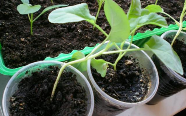 Почему медленно растёт рассада томатов