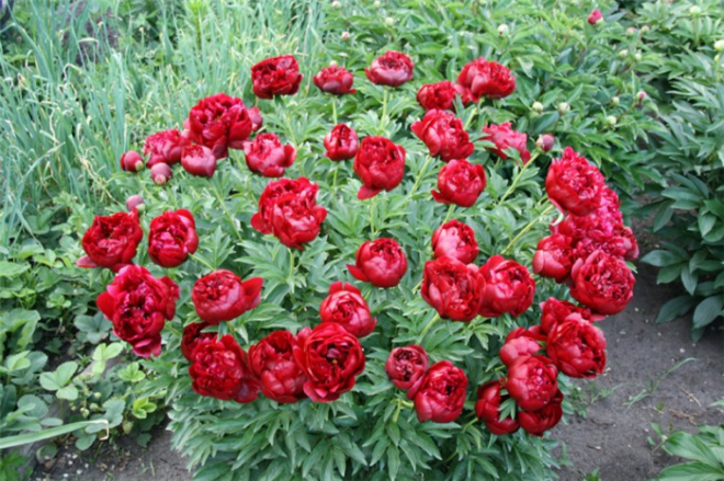 Уход за лилиями после цветения - обрезка и уход за растением