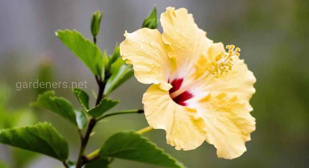 Выращивание садового гибискуса и уход за ним