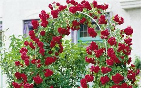 Как размножить розы черенками летом | ароматы и цветы для здоровья-красоты